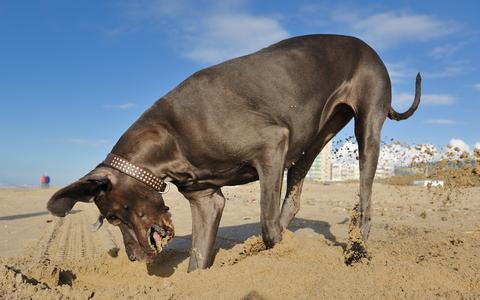 אילוף כלבי דני ענק- LADOG {דני ענק אפור כחול}