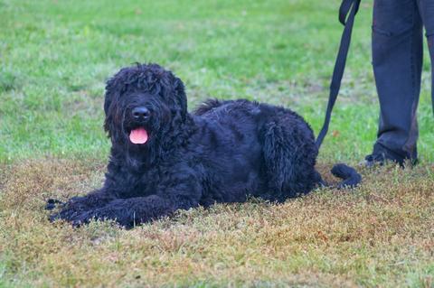 אילוף למשמעת כלבי טרייר רוסי שחור-LADOG