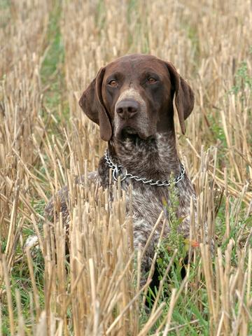 אילוף מקצועי לכלבי פוינטר גרמני למשמעת מתקדמת- LADOG