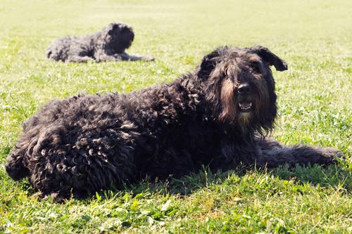 אילוף מקצועי למשמעת לכלבי בוביה דה פלאנדר-LADOG