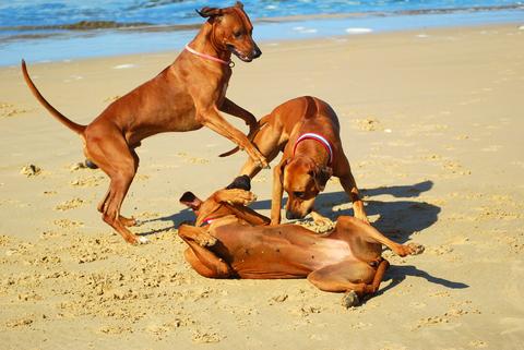 משחקי שליטה בכלבים -LADOG