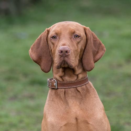 אילוף כלבים המתאים לגורי ויסלה הונגרי-LADOG- עיצוב אופיו של גור ויסלה בגיל שלושה חודשים מפתחת תקשורת ומורידה את עקשנותו של הויסלה.
