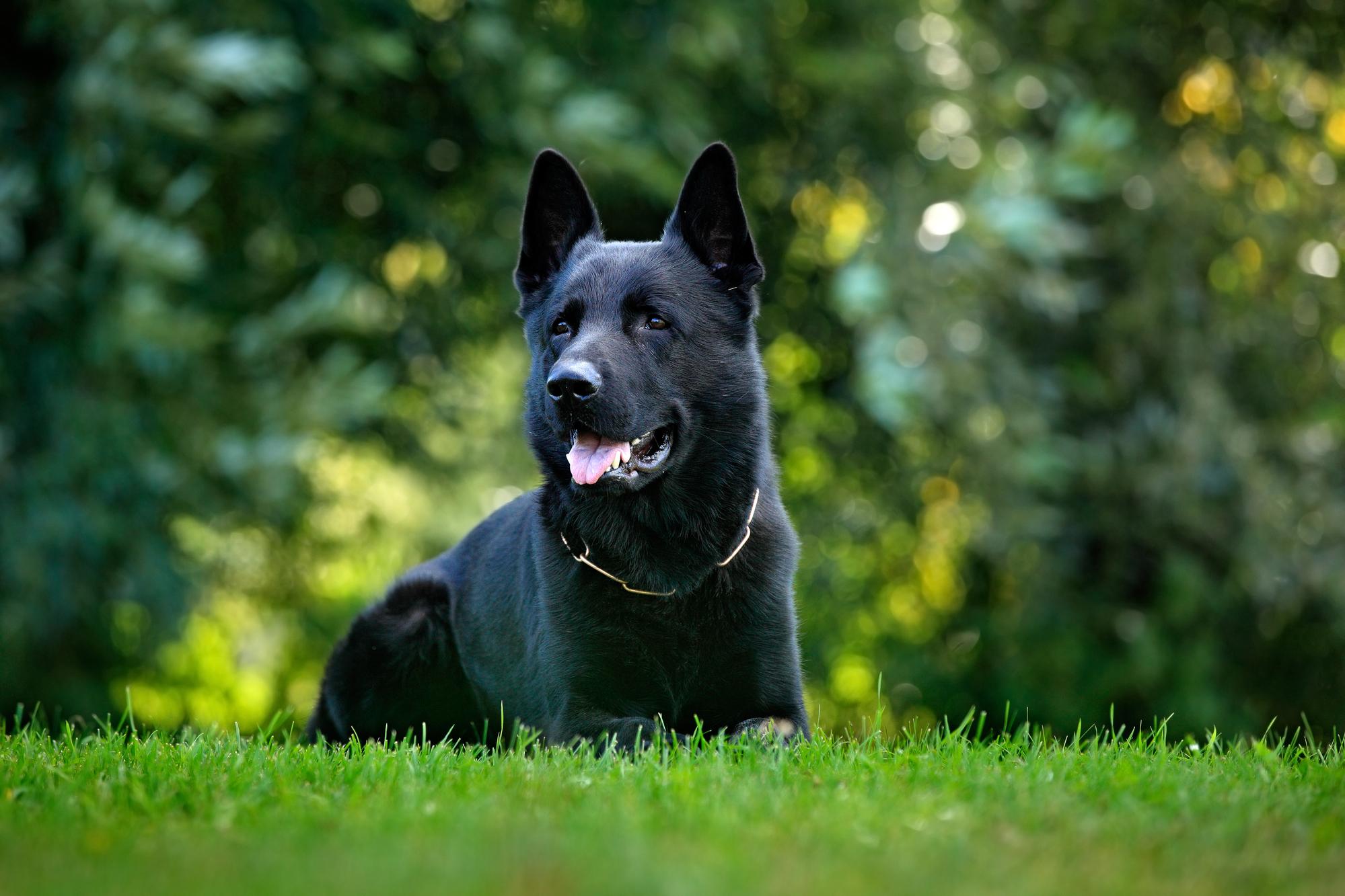 בלתי רגיל רועה גרמני קו דם עבודה -LADOG -אילוף ומכירה של כלבי רועה גרמני עבודה QA-46