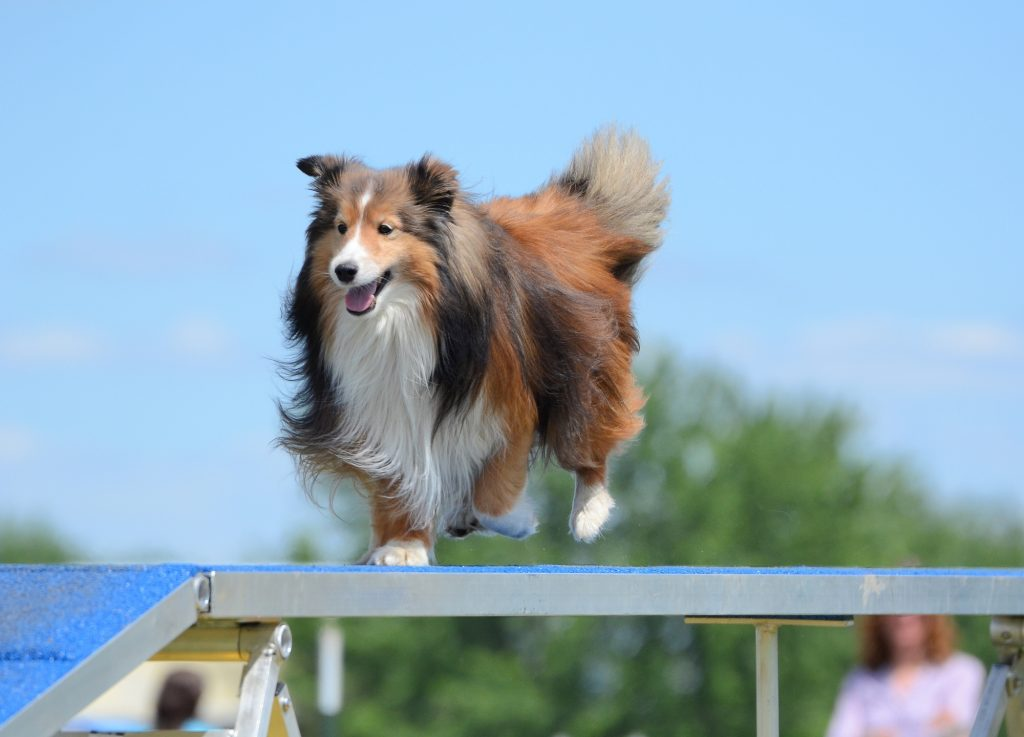 Tricolor Shetland Sheepdog (Sheltie) Running on a Dog Walk at an Agility Trial