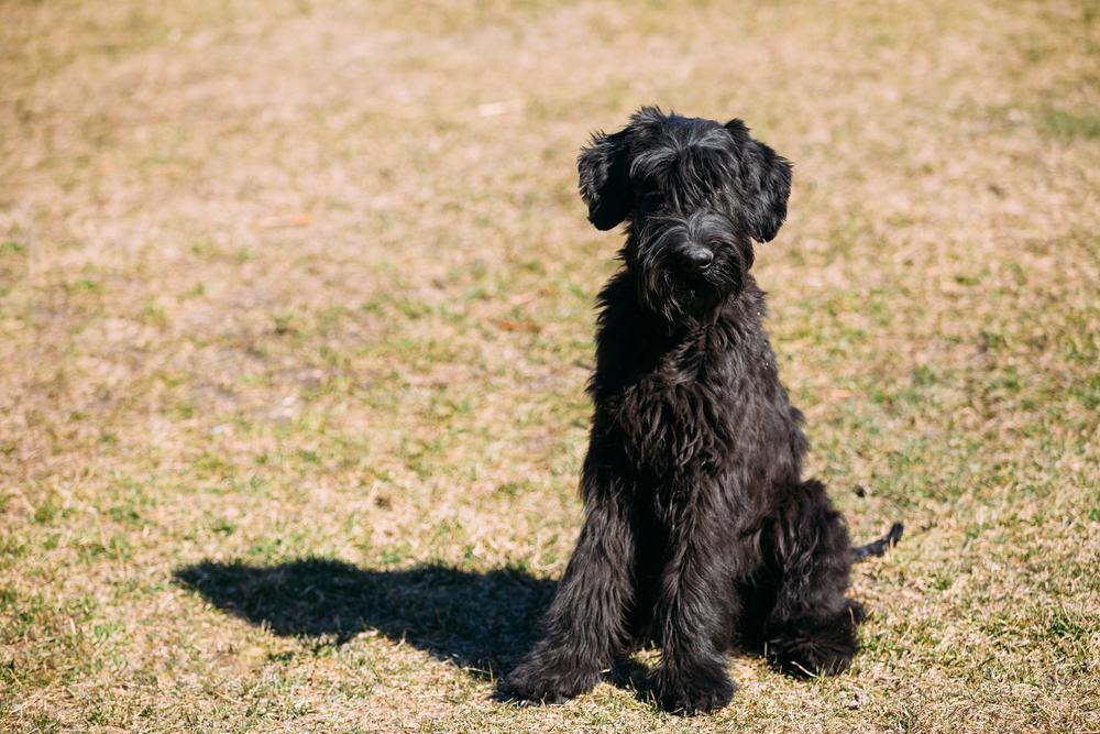 גור שנאוצר ענק - LADOG - מרכז קצועי לאימון כלבים