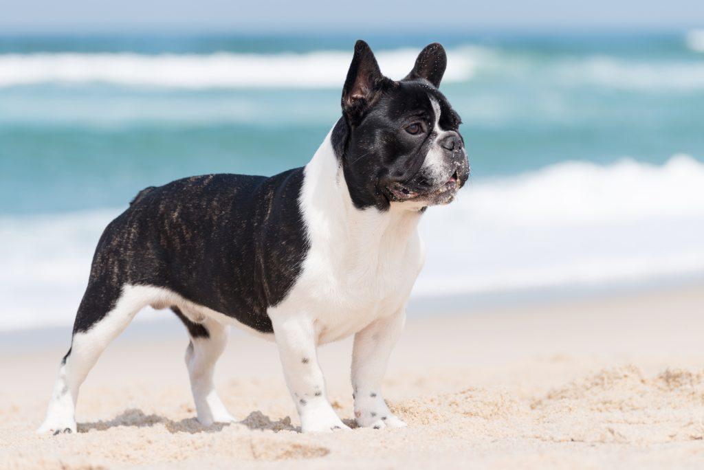 אילוף מקצועי לכלב בולדוג צרפתי - LADOG