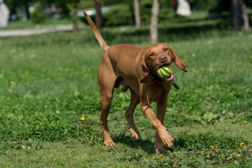 פיתוח יצר המשחק לכלבי ויסלה-LADOG