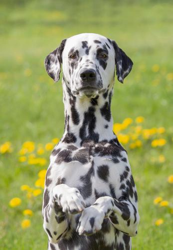 dalmatian dog -אילוף מקצועי למשמעת-LADOG