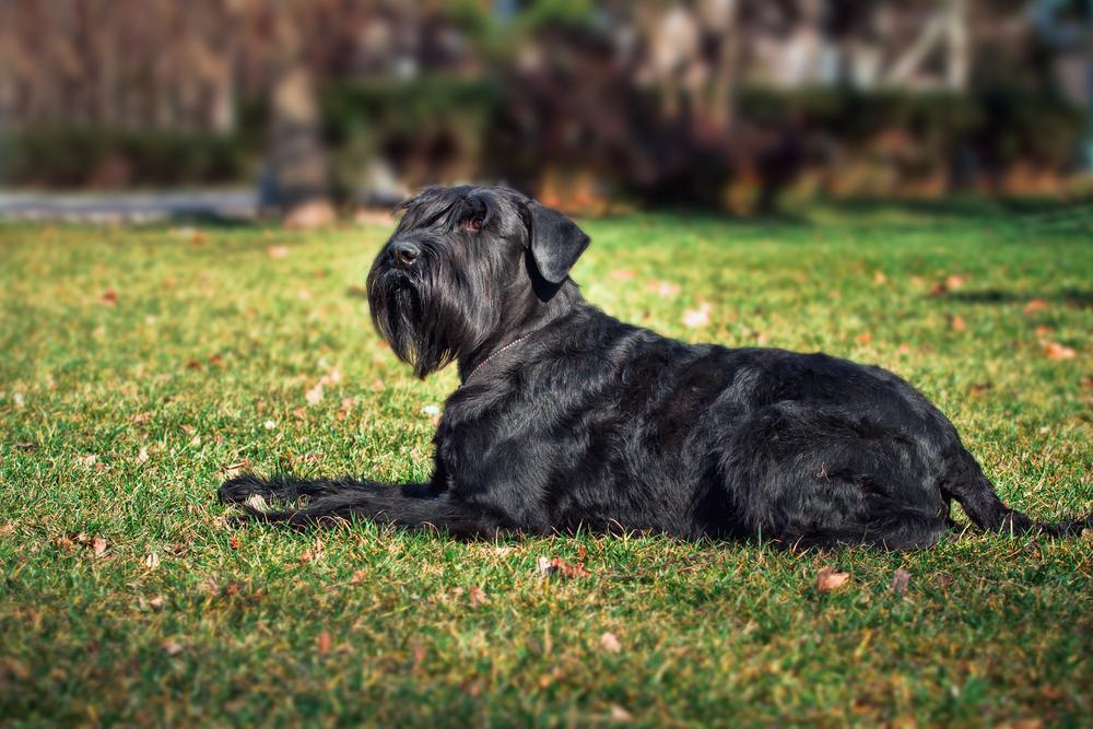 באילוף מקצועי ניתן להגיע עם כלבי השנאוצר הענק לרמת תקשורת גבוה עם הבעלים -LADOG