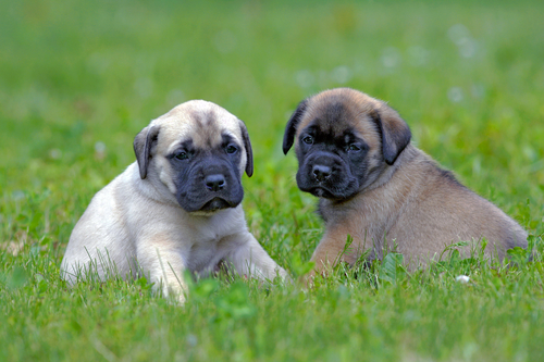 English Mastiff puppies