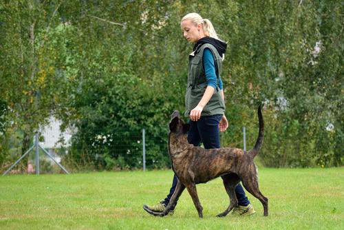 """אילוף לפקודת """"רגלי"""" לכלב רועים הולנדי-LADOG"""