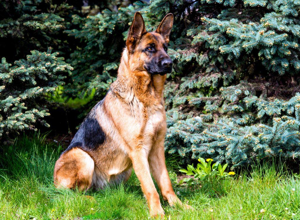 מידע מקצועי בגידול ואילוף רועה גרמני - LADOG