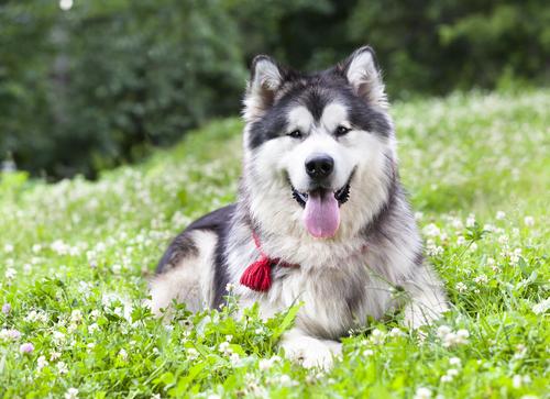 אילוף למשמעת ללא רצועה כלל גם עם כלבי אלסקן מלמוט-LADOG