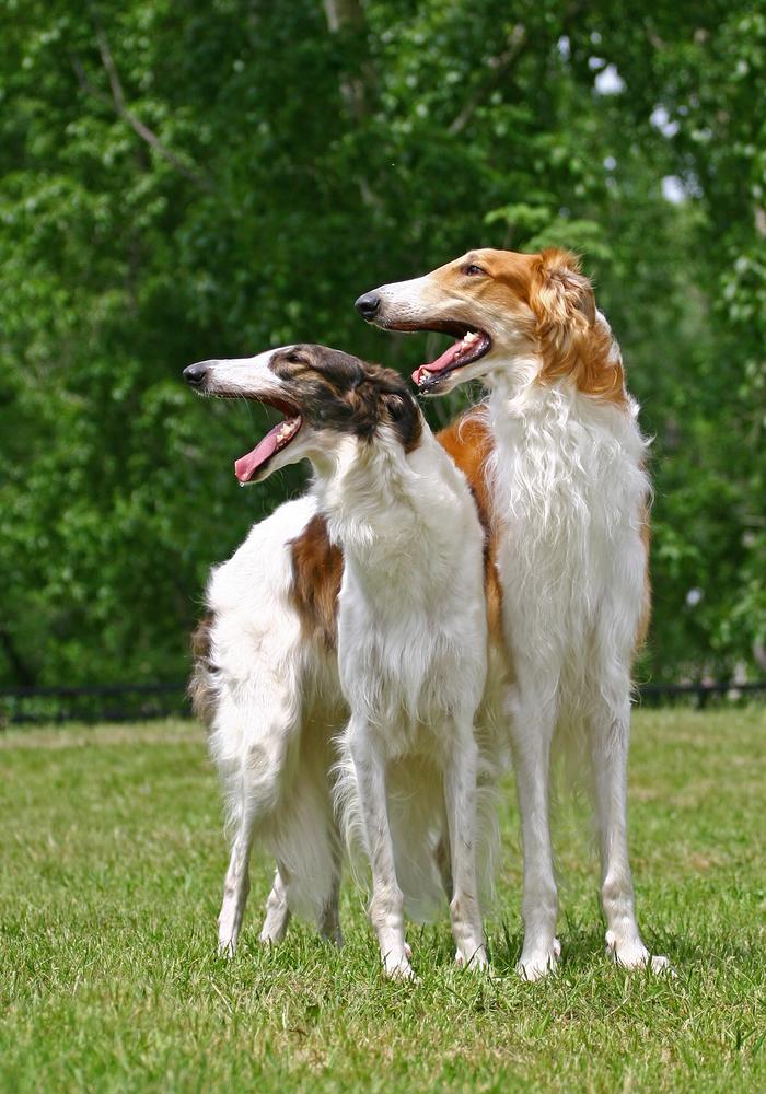 בורזוי - נחשב לכלב בישן ועדין, בגידול בזוגות ירגיש יותר ביטחון - LADOG