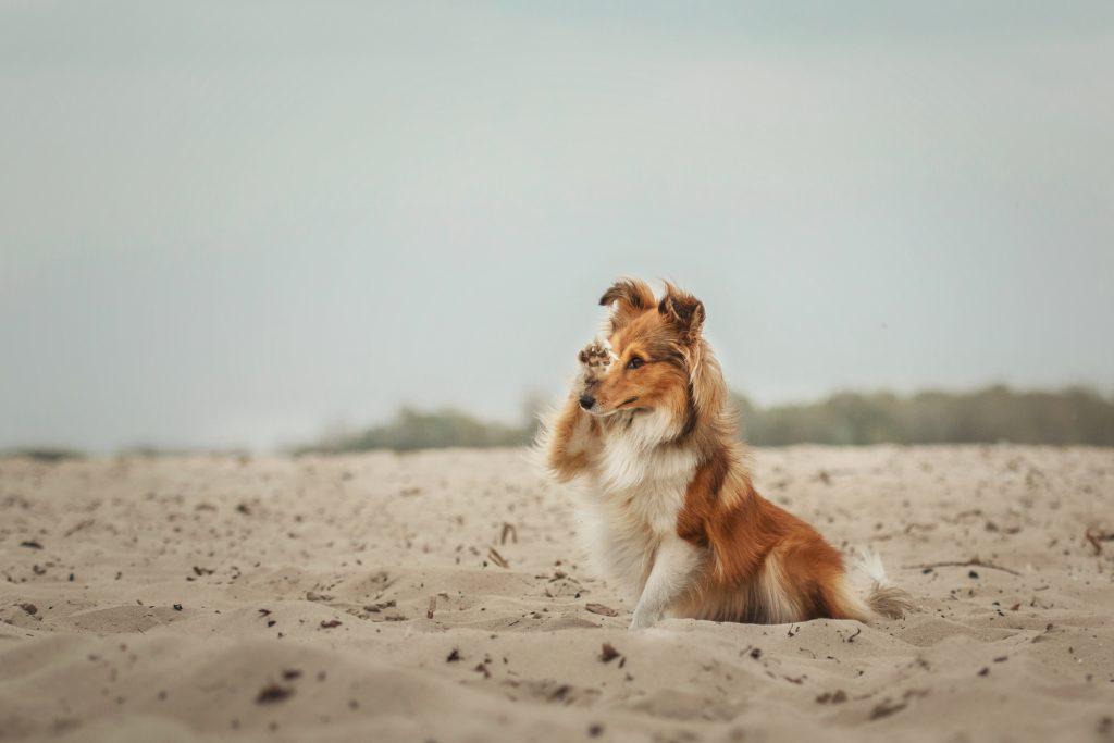 רועה שטלנדי (שלטי) נחשב לכלב מעולה ללימוד טריקים - LADOG