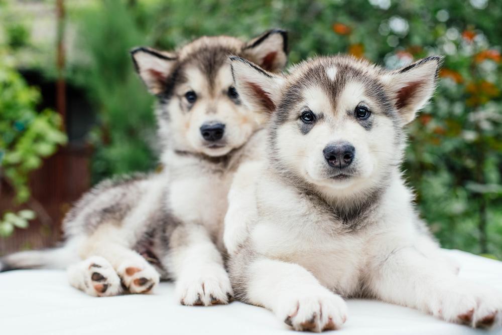 גורי אלסקן מלמוט - LADOG - מרכז מקצועי לאילוף כלבים