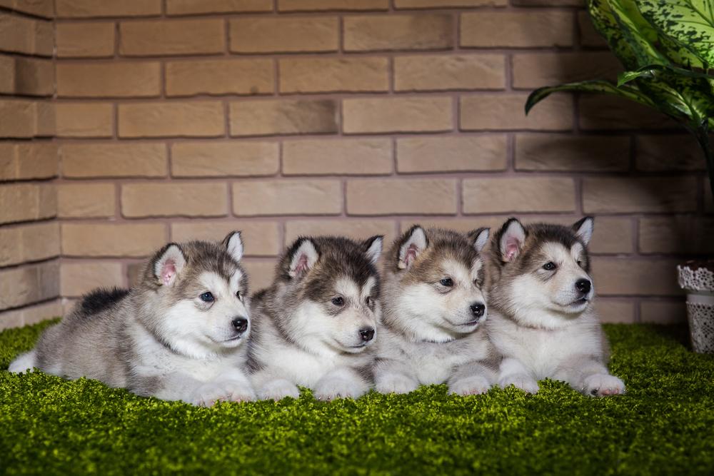 גורי אלסקן מלמוט - LADOG - אימון כלבים מקצועי