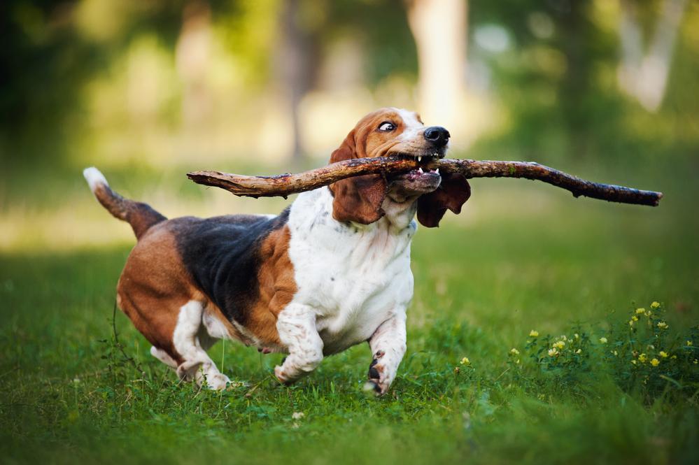 לכלבי הבאסט יצר משחק חזק - LADOG