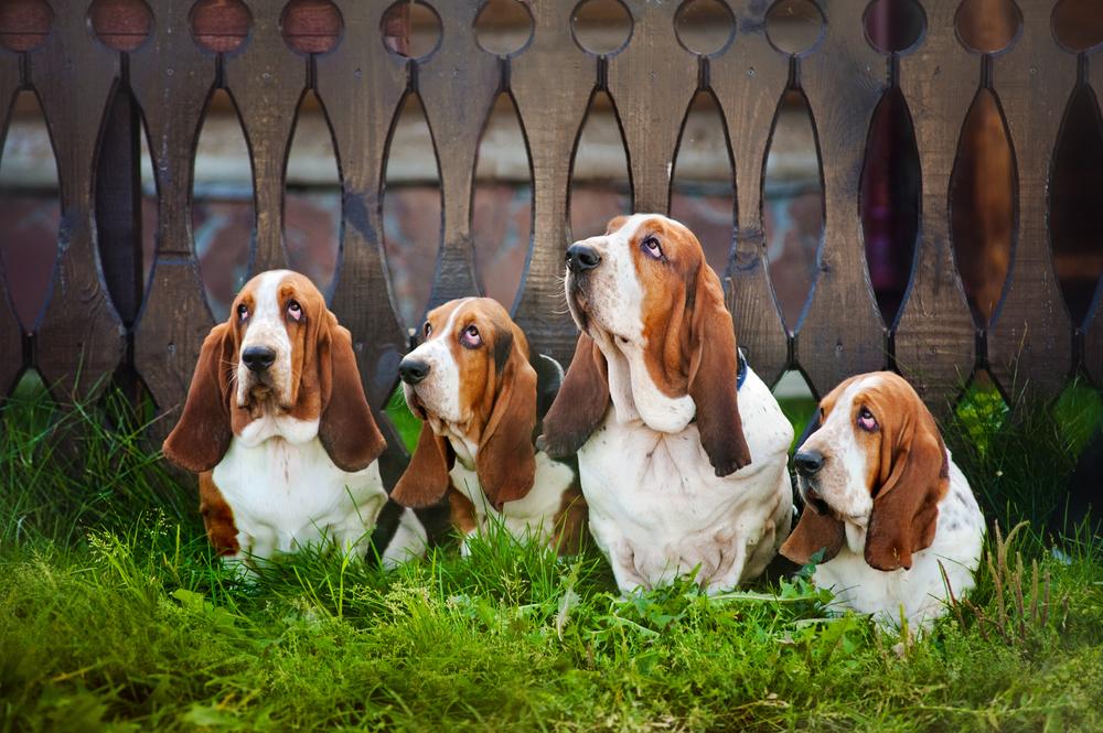 כלבי באסט האונד בצבע קלאסי - LADOG