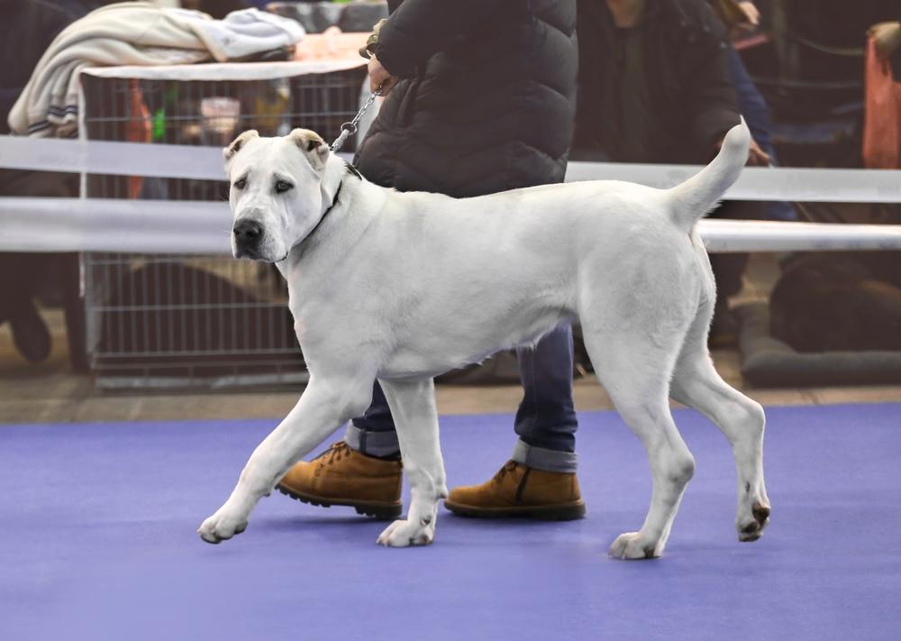 אילוף מקצועי לכלבי רועה אסיאתי - LADOG