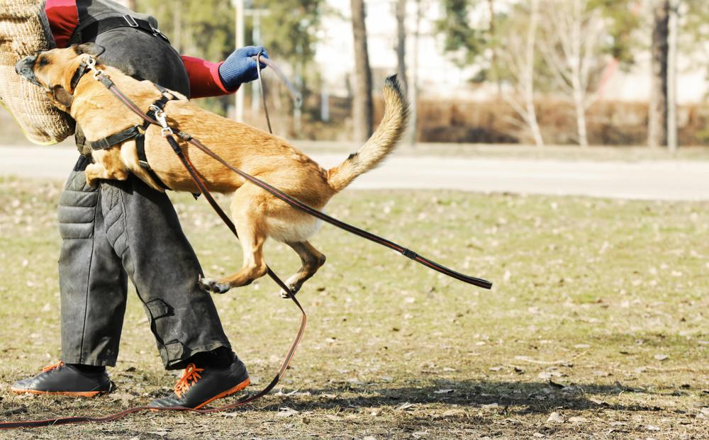 רועה בלגי מלינואה נחשב לכלב תקיפה חריף מאוד - LADOG - אימון כלבי מלינואה להגנה