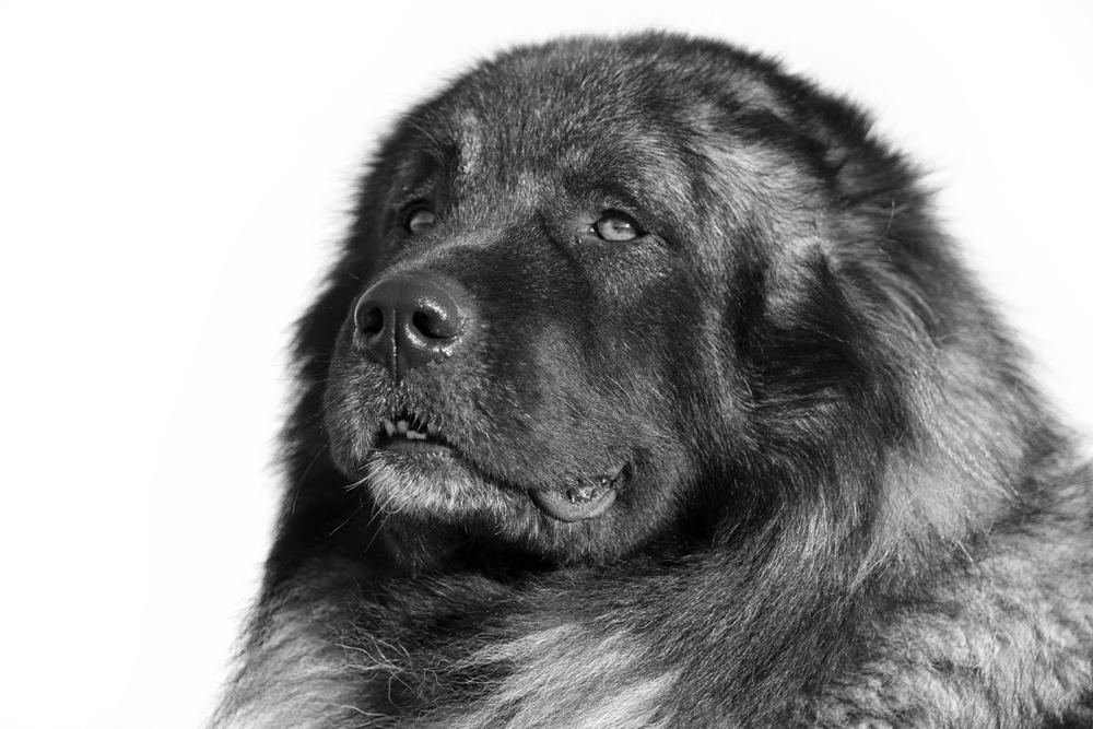 אילוף מקצועי לכלבי רועים קווקזי - LADOG