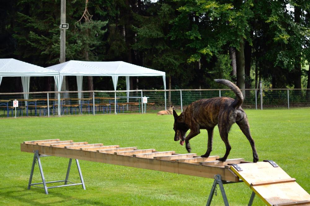 רועה הולנדי מעולה ככלב ספורט - LADOG - מרכז מקצועי לאילוף כלבים