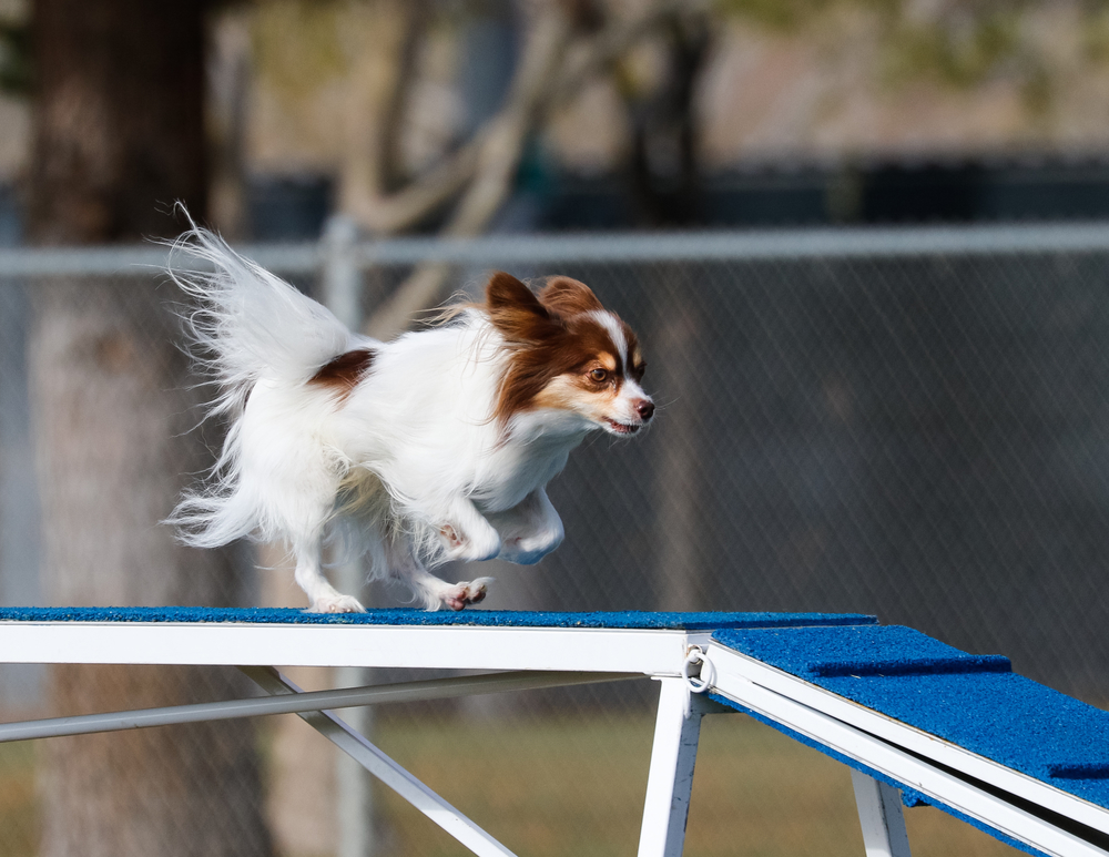 כלבי פפיון אוהבים מאוד מעבר מכשולים - LADOG - מרכז מקצועי לאילוף כלבים