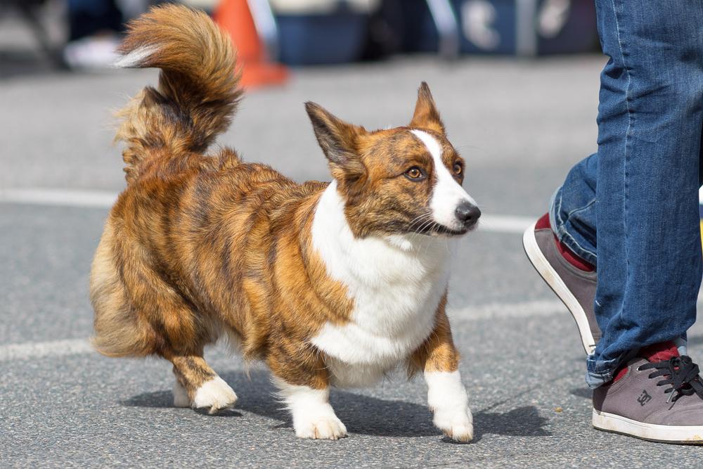 כלב וולש קורגי בצבע מנומר ולבן - LADOG - מרכז מקצועי לאילוף כלבים