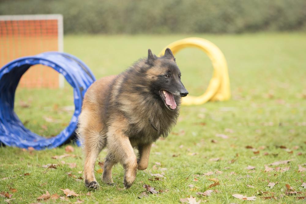 טרוורן נחשב לכלב עבודה ומשפחה מעולה - LADOG