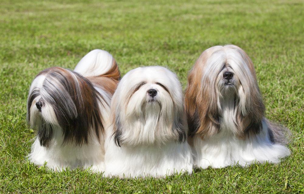 אילוף מקצועי לכלבי להאסה אפסו - LADOG