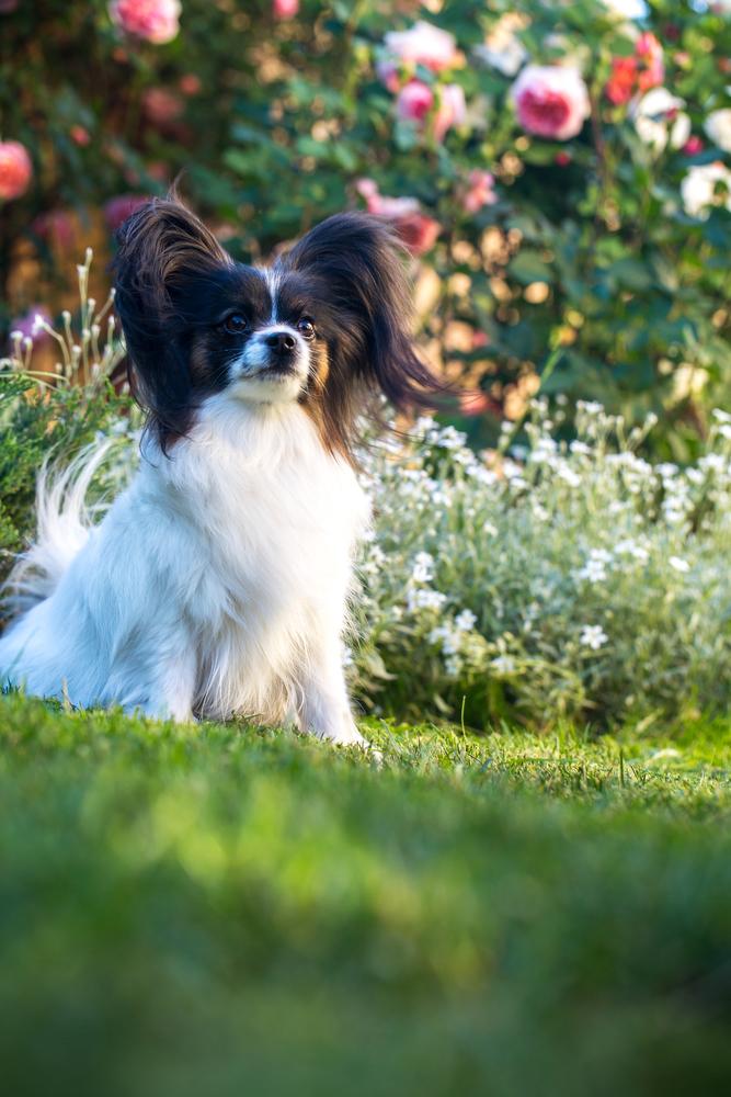 כלב פפיון בצבע שחור לבן - LADOG - מרגז מקצועי לאילוף כלבים