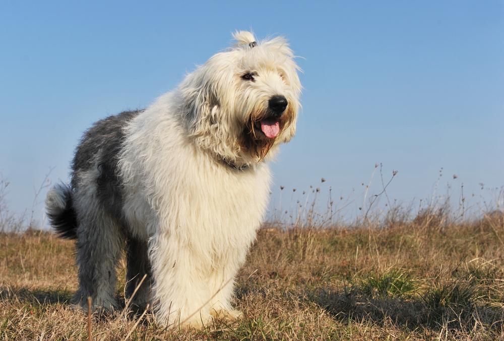 כלב צאן אנגלי עתיק - LADOG - מרכז מקצועי לאימון כלבים