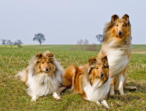 קורס אילוף כלבים בחברת -LADOG- אילוף קולי