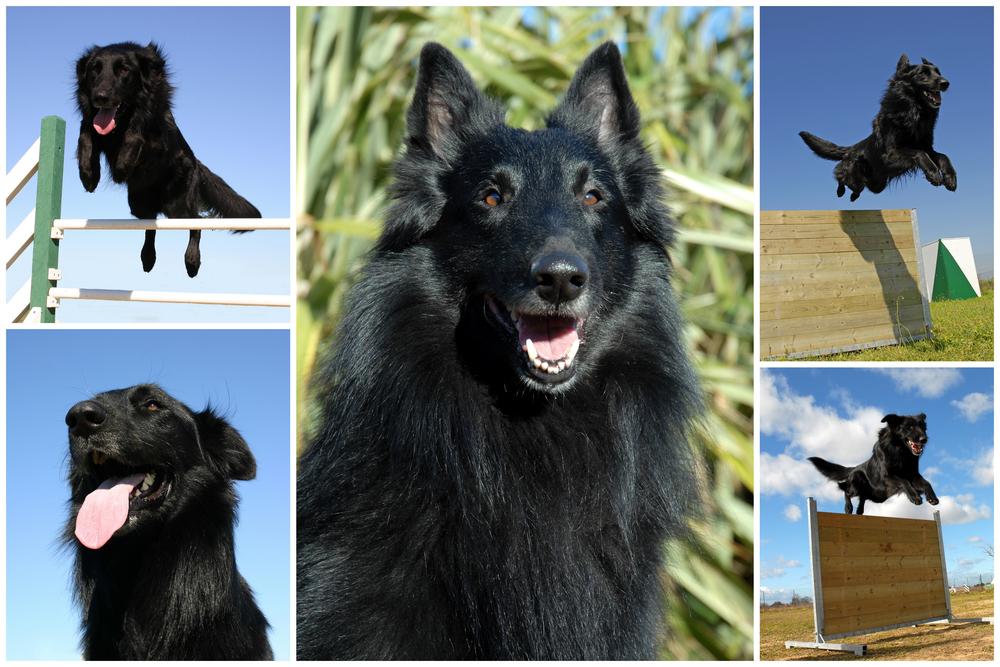 גרוננדל נחשב לכלב עבודה ומשפחה מעולה - LADOG