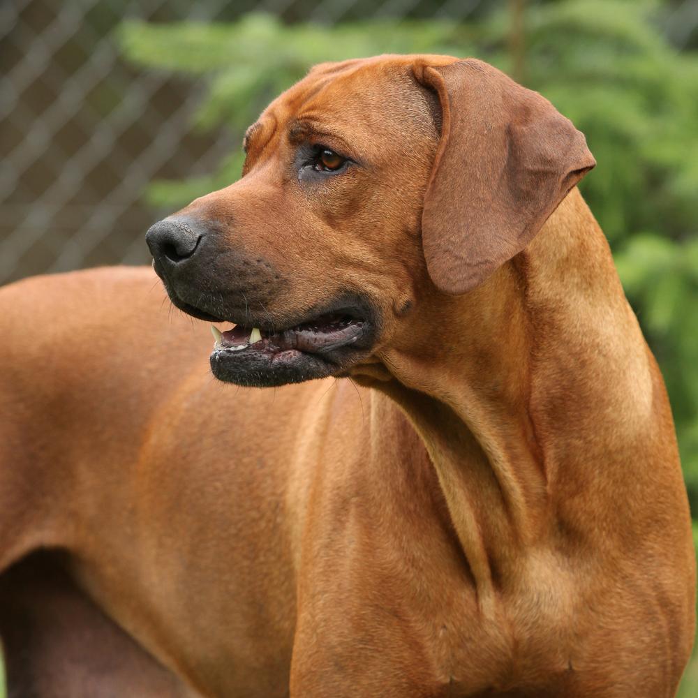 ללא אילוף מקצועי בגיל צעיר, עלול הריצ'בק להפוך לדומיננטי - LADOG - אילוף כלבים