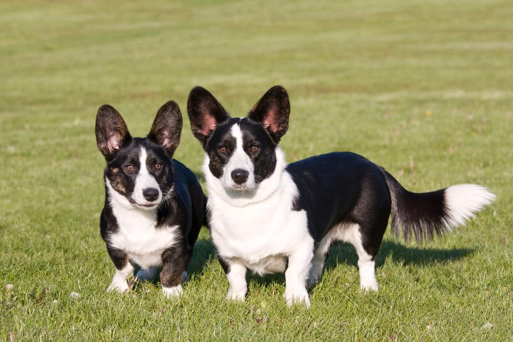 כלבי וולש קורגי בצבע שחור לבן - LADOG - אילוף כלבים מקצועי