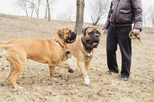 קורס אילוף מקיף למשמעת מתקדמת לכלבי בולמסטיף- LADOG