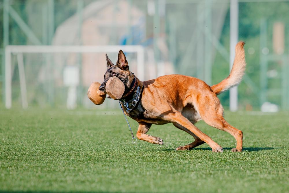 מלינואה נחשב לכלב ספורט ועבודה מהטובים בעולם - LADOG - מרכז מקצועי לאילוף