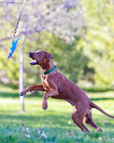 פיתוח יצר המשחק לכלב רודזיאן ריצ'בק-LADOG