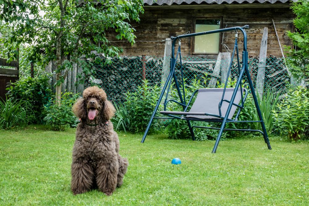 לכלבי פודל אהבה גדולה לאימוני המשמעת - LADOG  - אילוף מקצועי