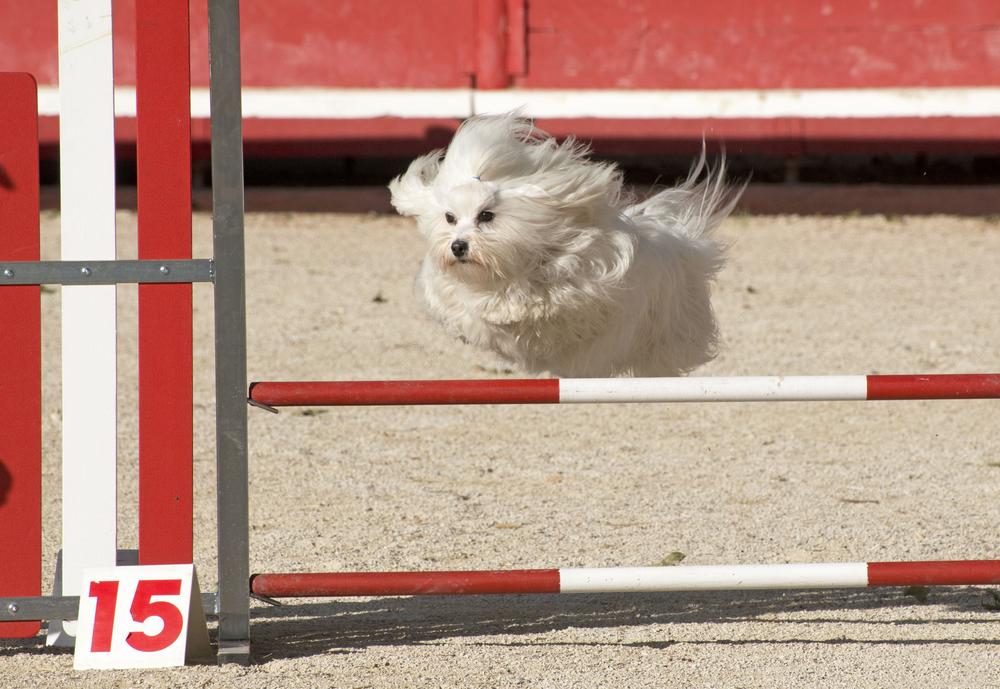 המלטז נחשב לכלב פעיל מאוד - LADOG - אימון כלבים מקצועי