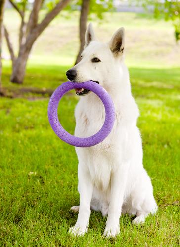 פיתוח יצר המשחק של כלבי רועה שוויצרי - LADOG