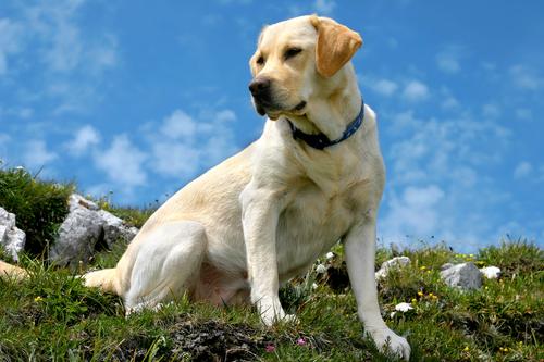 קורס אילוף מקיף לכלבי לברדור רטריבר- LADOG
