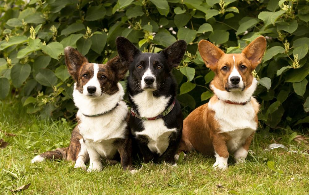 אילוף מקצועי לכלבי וולש קורגי - LADOG