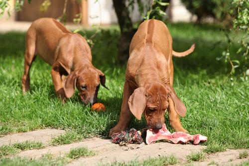 משחקי נשיכה בין כלבים עלול ליצור לחץ רב- LADOG