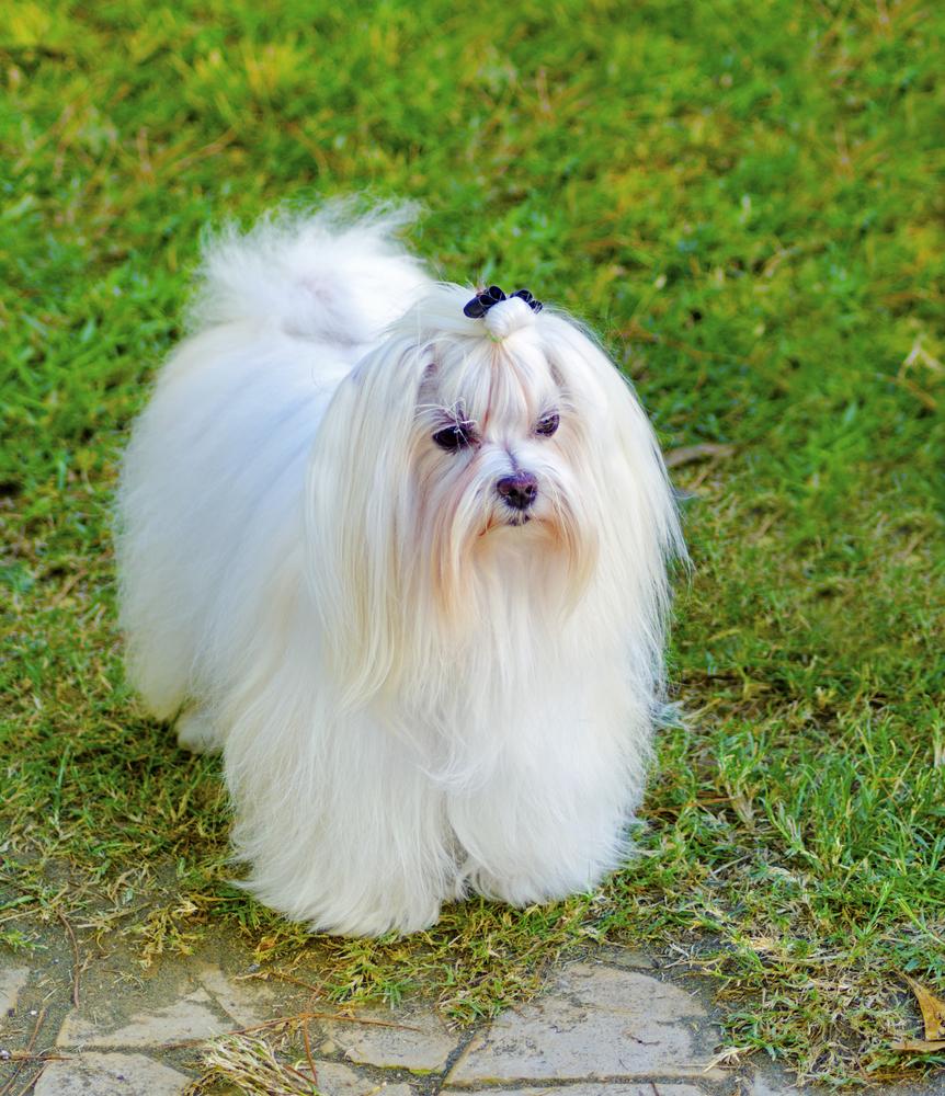 אילוף מקצועי לכלבי מלטז - LADOG