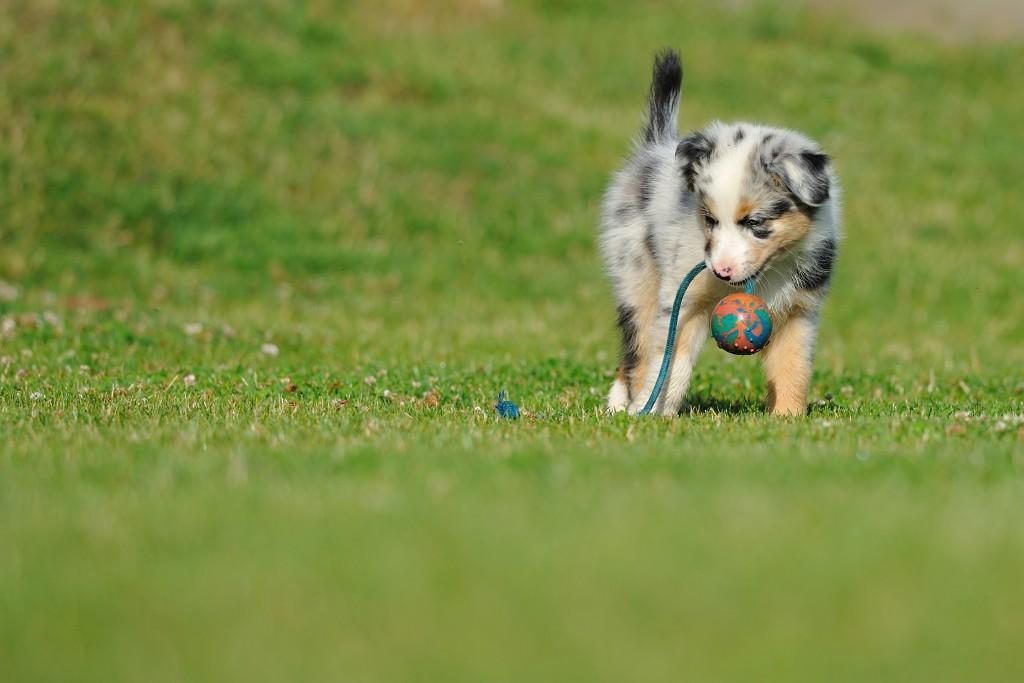 פיתוח יצר המשחק לגור של רועה אוסטרלי-LADOG