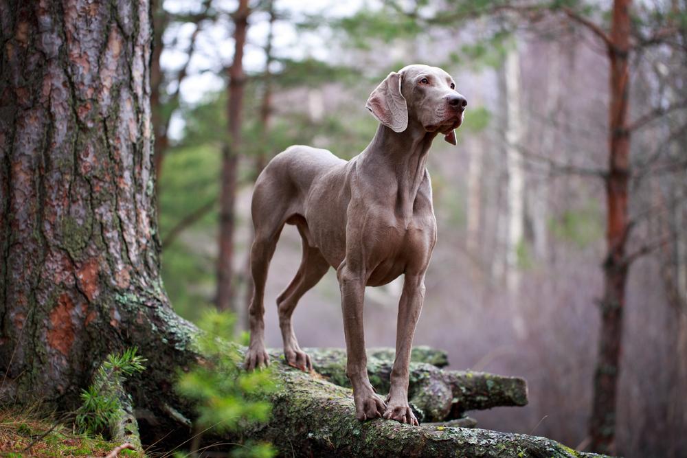 כלבי ויימרנר נהנים מאוד מטיולים בטבע - LADOG - אילוף כלבים