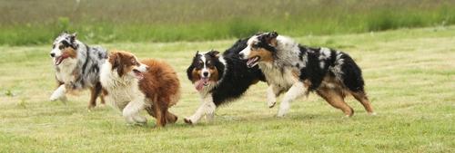 אימון כלבי רועה אוסטרלי-LADOG- כלבייה במרכז הארץ.